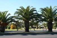 Palm trees lining a park in Scalea, Italy, located in the Calabria region